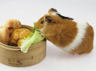 可爱吃货七月大豚鼠图片