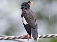 电线上的鸟野生八哥鸟图片