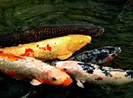 嬉戏玩耍的红白锦鲤图片