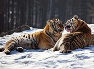 凶猛老虎林中生活图片
