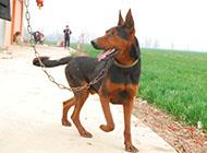 山西悍将威猛莱州红犬图片