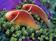 小丑鱼热带海鱼图片