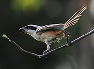 黑伯劳鸟枝头觅食图片