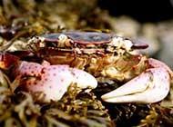 沙滩上特写螃蟹