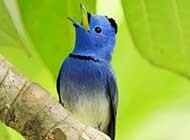 春日枝头鸣叫的可爱小鸟