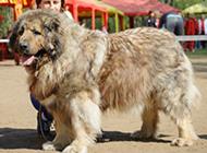大型高加索犬图片欣赏