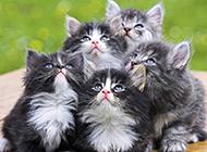 挪威森林猫幼猫超萌图片大全