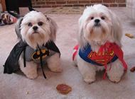 拉萨犬可爱超人造型图片