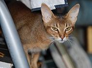 眼神犀利的埃及猫图片