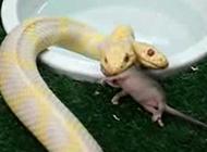 实拍罕见双头白蛇进餐全过程 生吞一只老鼠