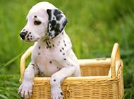大麦町犬幼崽可爱草丛写真图片