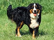 瑞士伯恩山犬草地散步图片休闲惬意