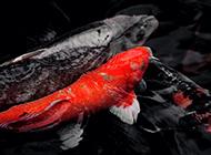 日本锦鲤相亲相爱图片