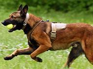 草地奔跑的警犬马犬图片