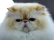 喜马拉雅种猫图片表情丑萌