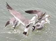 海鸥唯美高清图片