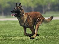 正宗草黄昆明犬野外奔跑训练图片