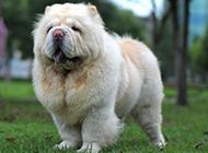 强壮有力的成年松狮犬图片