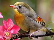 鸣声优雅的红嘴相思鸟图片