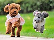 嬉闹玩耍的超可爱泰迪狗图片
