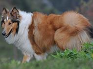 有灵性的纯种苏格兰牧羊犬图片
