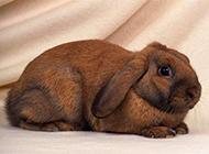 宠物小白兔棕兔高清兔子图片