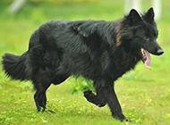 户外欢乐奔跑的比利时牧羊犬图片