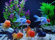 成群结队的蝶尾金鱼图片