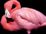 长腿火烈鸟唯美动植物风景美图壁纸
