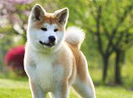 可爱萌宠秋田犬图片壁纸
