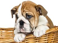 中国沙皮犬丑萌丑萌图片