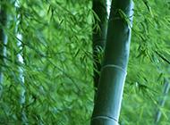清新淡雅竹子图片壁纸素材