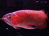 濒临绝种的顶级红龙鱼图片