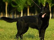 黑色东德牧羊犬ddr帅气回眸图片
