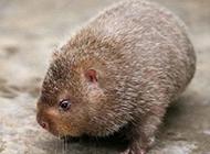 稀有的动物银星竹鼠图片
