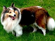 最漂亮的狗纯种苏格兰牧羊犬图片