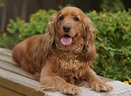 英国可卡犬户外甜美写真图片