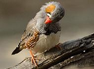 梳理羽毛的小珍珠鸟图片