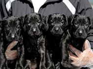 墨界黑狼犬幼崽可爱模样图片