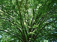 树大遮阴高清组图