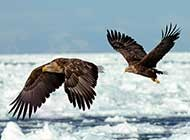 大型猛禽 白尾海雕高清图片