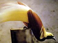精灵王天堂鸟实拍图片欣赏