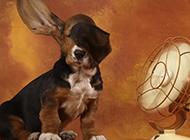 巴吉度犬搞笑逗趣图片