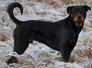 美系罗威纳犬身材威猛高大图片