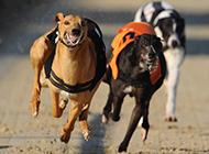 奔跑中的凶猛灵缇犬图片