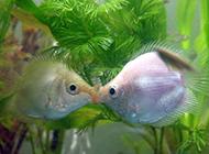 可爱的接吻鱼唯美图片