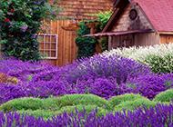 法国普罗旺斯紫色薰衣草庄园优美风景图片