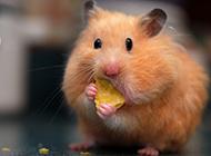 可爱胖乎乎的仓鼠图片