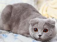 灰色苏格兰折耳猫警惕表情图片