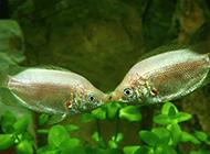 可爱的热带鱼银饰接吻鱼图片